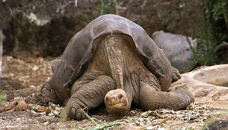 1109 Умерла последняя гигантская галапагосская черепаха на планете