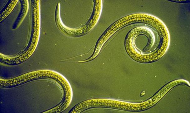 11a160 Медики научились диагностировать рак с помощью мочи и червей