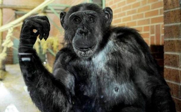 12610 Американский суд признал, что шимпанзе имеет такие же права, как и человек