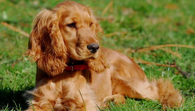 133-sd183sseks-spaniel-2 Ученые научились определять настроение собаки по движениям ее хвоста