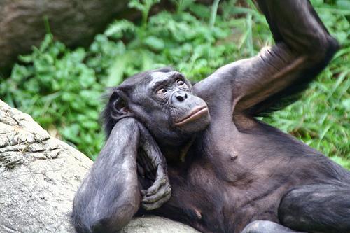 1357 У шимпанзе тоже есть автобиографическая память