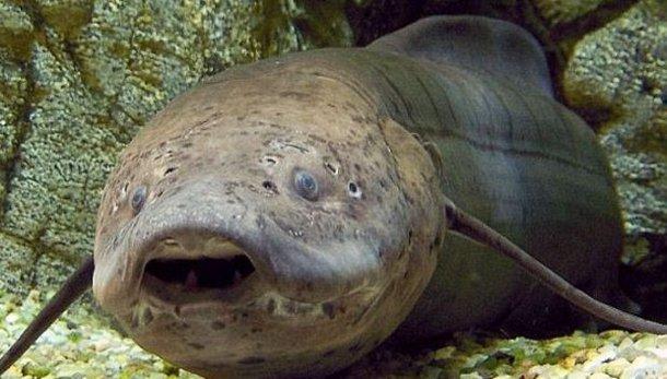 1439880736-7329 В Африке ученые обнаружили рыбу, способную несколько лет жить без воды и еды