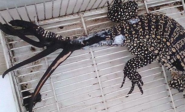 1446136062-5938 В Аргентине у ящерицы после травмы выросло 6 новых хвостов