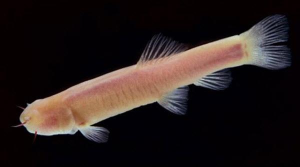 242 У слепой подземной рыбки сутки длятся 47 часов
