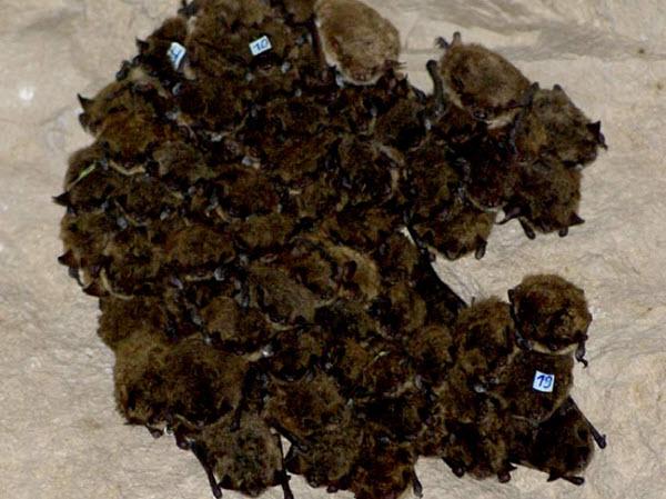 253 Летучие мыши ночуют только в компании близких друзей