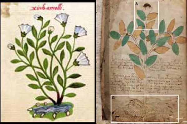 368 Ботаники определили растения из манускрипта Войнича