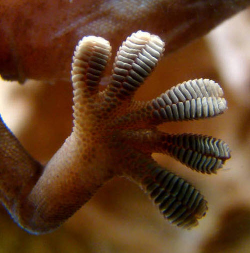 511 Открыты новые факты о лапах гекконов
