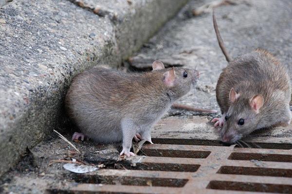 582 Крысиный альтруизм