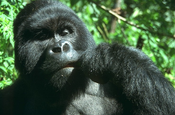 61 Праворукость предков-обезьян - в ответе за развитие речи