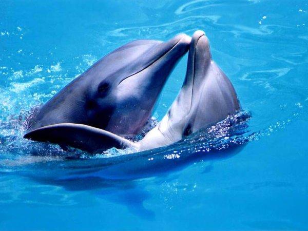 62440476_1 По сложности социальная структура популяции дельфинов близка к человеческой