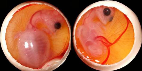 79 Зародыши черепах не так беспомощны, как считалось ранее