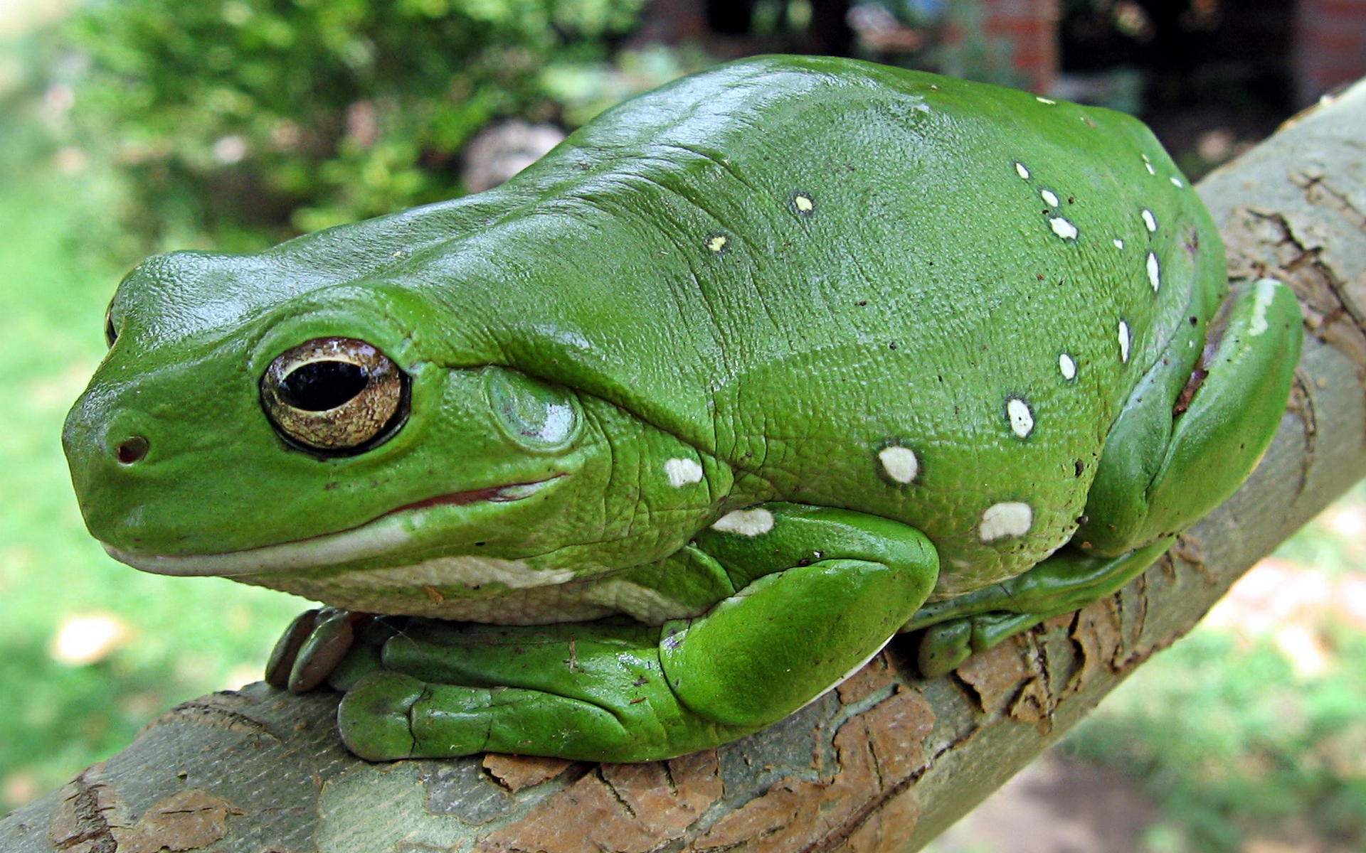 animal_frog_354429 Лягушки Дарвина вымерли из-за кожной инфекции