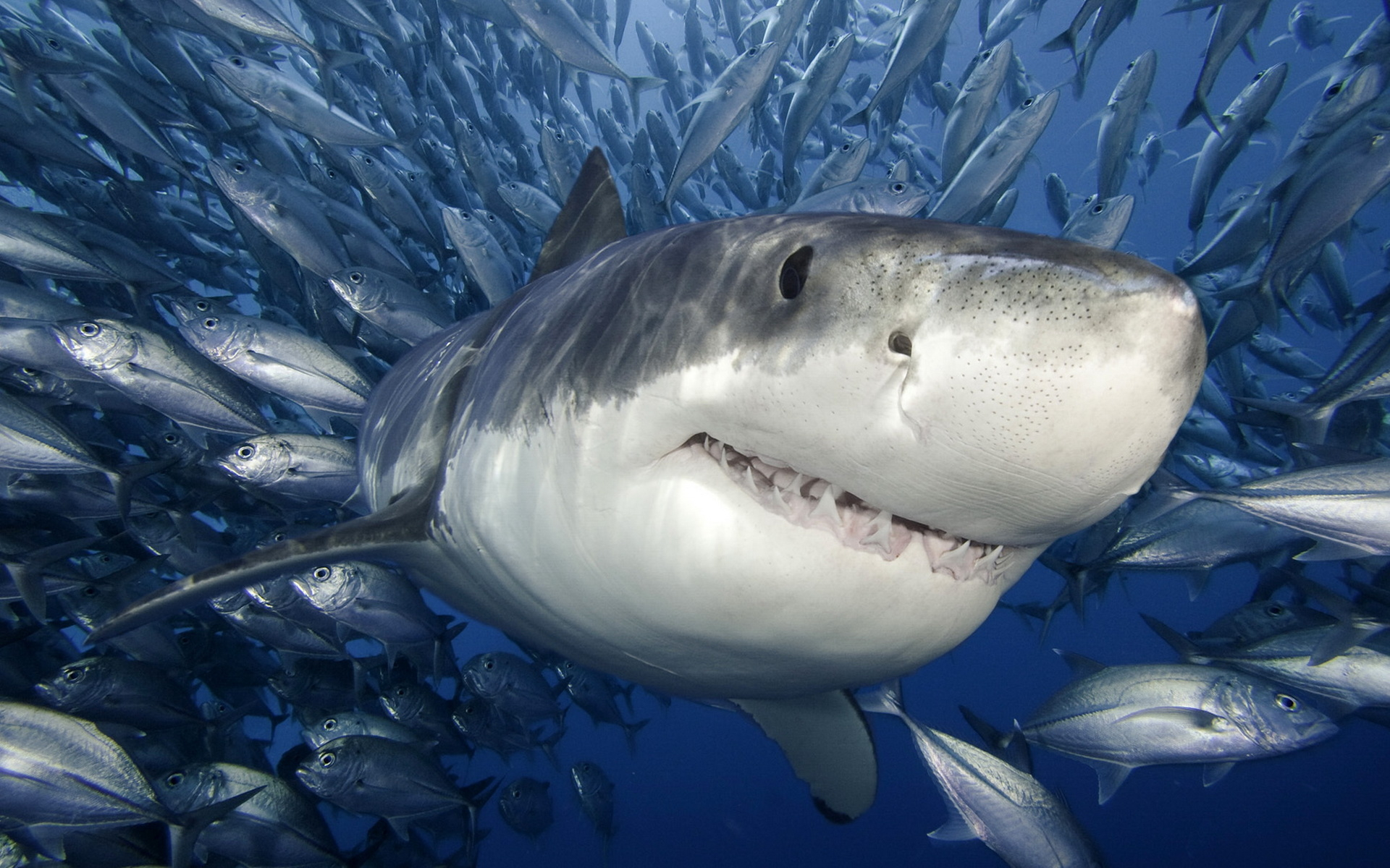 animals_under_water_white_shark_032364_.jpg