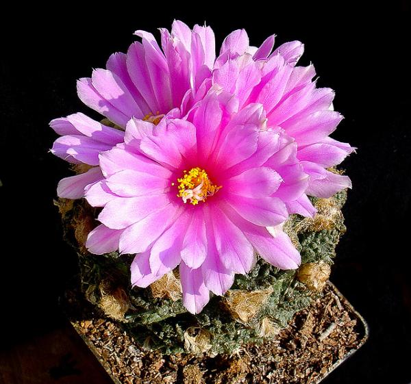 ariocarpus-fissuratus Уроки выживания от кактусов