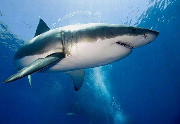 bagamy1 Нападать на людей акул заставляет стресс