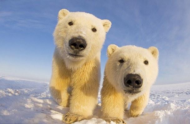 belye_edvediki-6 В ближайшие 10 лет белым медведям грозит полное вымирание