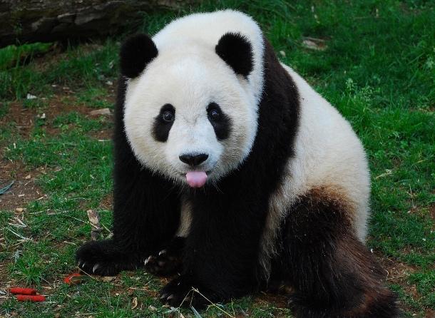 big-panda24 Человек употребляет в 2 раза больше калорий, чем большая панда