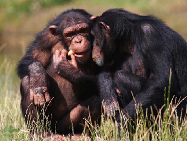 content_british-scientists-have-decoded-the-chimpanzee-language Ученые окончательно расшифровали язык жество шимпанзе