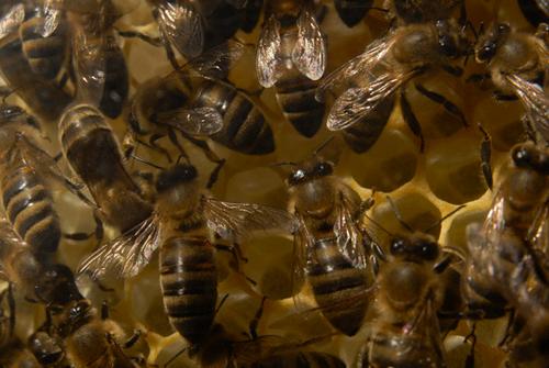 corbis-42-21709972 Возможно, пчёлы общаются с помощью электричества