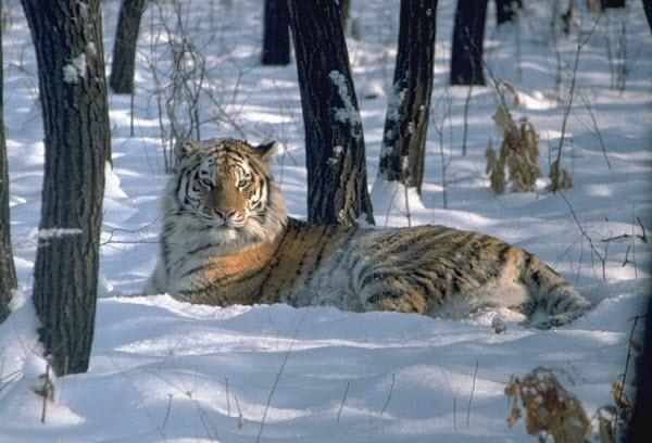 d0b0d0bcd183d180d181d0bad0b8d0b9-d182d0b8d0b3d180 Амурские тигры – заложники генов