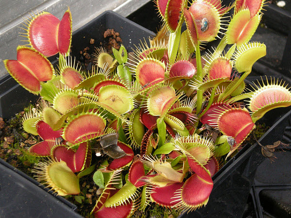 d0b2d0b5d0bdd0b5d180d0b8d0bdd0b0-d0bcd183d185d0bed0bbd0bed0b2d0bad0b0 5 растений, которые шокируют