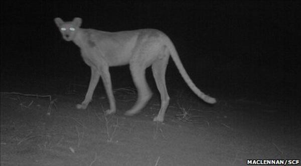 d0b3 Редкий сахарский гепард попал в объектив фотоловушки