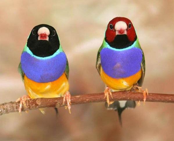 d0b3d183d0bbd18cd0b4d0bed0b2d18bd0b5-d0b0d0bcd0b0d0b4d0b8d0bdd18b1 Неравный брак делает птиц несчастными