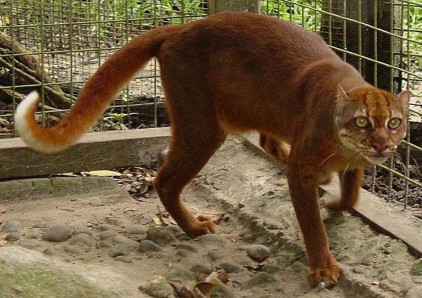 d0ba На Борнео удалось сфотографировать редкую килимантанскую кошку