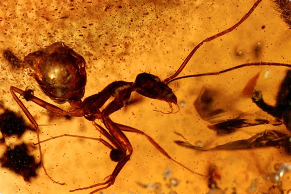 d0bcd183d180d0b0d0b2d0b5d0b9 В янтаре обнаружили около 100 видов доисторических насекомых