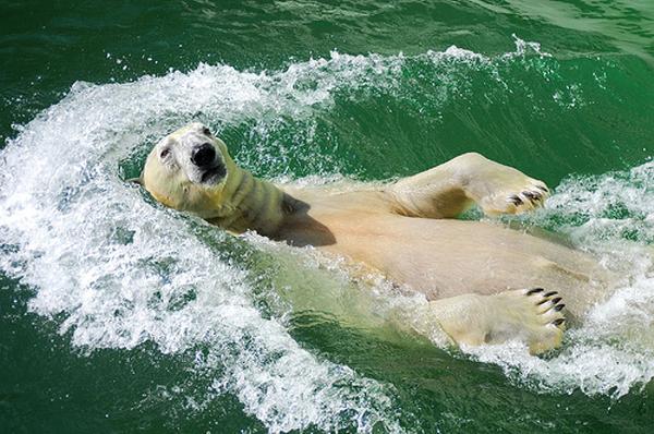 d0bfd0bed0bbd18fd180d0bdd18bd0b9-d0bcd0b5d0b4d0b2d0b5d0b4d18c Рекордный заплыв белой медведицы