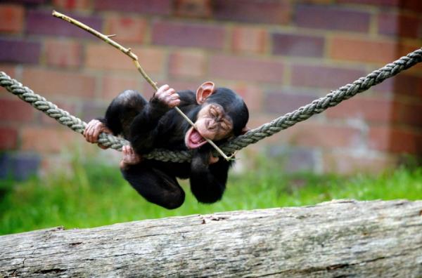 d188d0b8d0bcd0bfd0b0d0bdd0b7d0b5 Шимпанзе выбирают игрушки по гендерному признаку