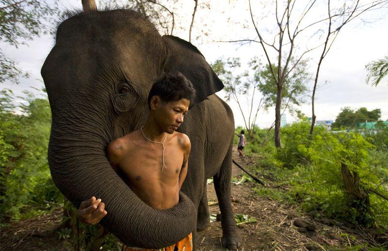 elephants-3 Слоны понимают жестикуляцию людей на интуитивном уровне