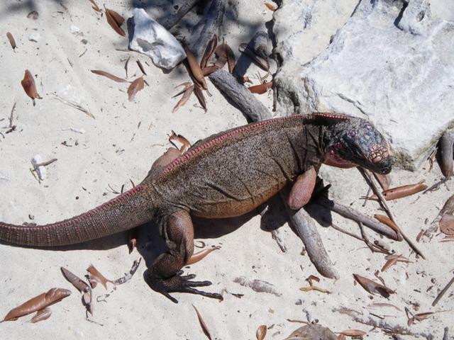 exuma025 Игуаны на Багамских островах вымирают из-за туристов