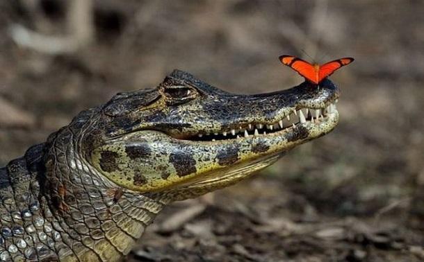 image_561503112124557255047 Крокодилы претендуют на звание лучшего друга человека