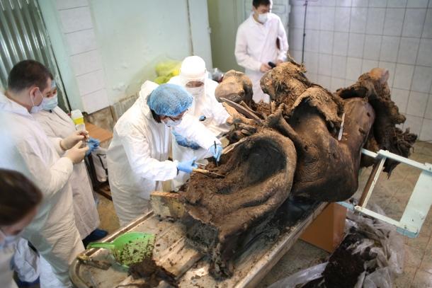 kj0a5359 Российские ученые нашли кожу мамонта, пригодную для клонирования