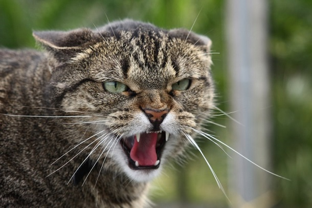 koshka_shipit Кошки до сих пор не стали по-настоящему домашними