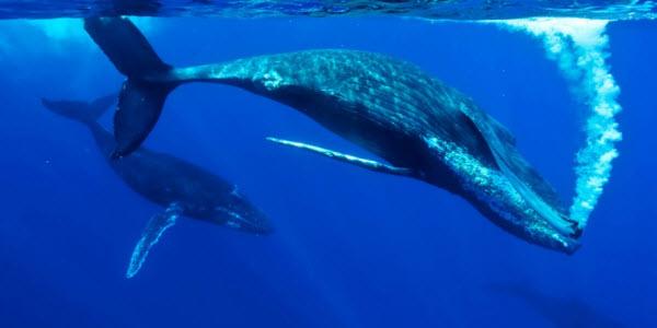 megaptera-novaeangliae Навигационные способности горбатых китов удивили ученых