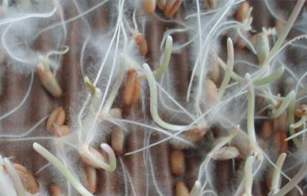 micorrihizae Растения предупреждаю друг друга об опасности по грибному «интернету»