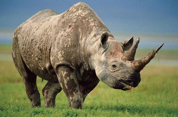 nosorog_kartinki_foto_01 Браконьеры на вымирающих видах животных зарабатывают более 8 млрд долларов в год