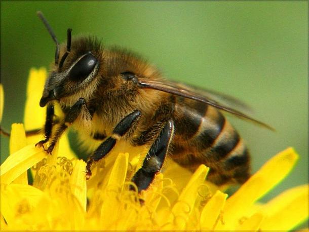 pchela В Америке рой пчел спас женщину от смерти