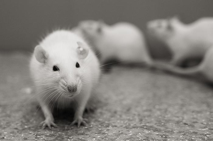 rat Сибирские ученые предлагают бороться с возрастной потерей зрения гормоном сна