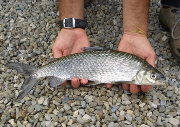 sig5 Ученые выяснили, где обитает самая полезная в мире рыба