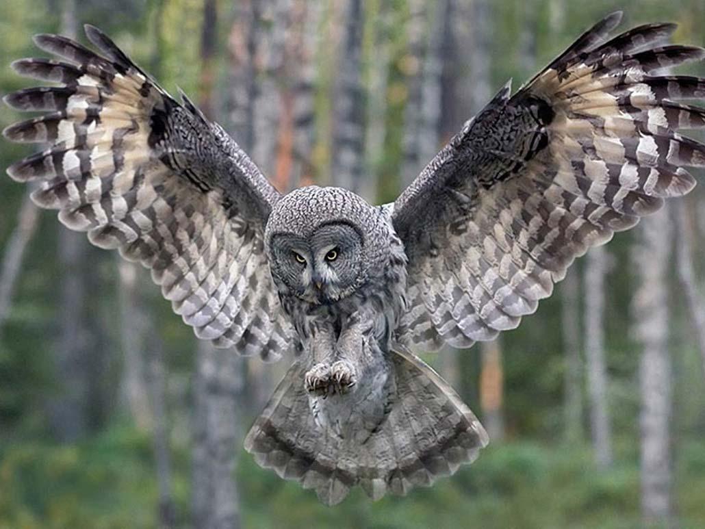 sova_filin_foto_02 Ученые раскрыли секрет бесшумности сов