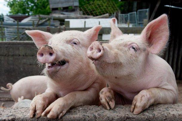 svini-umniki-s-gryaznymi-pyatachkami Органы свиней сделали пригодными для пересадки человеку