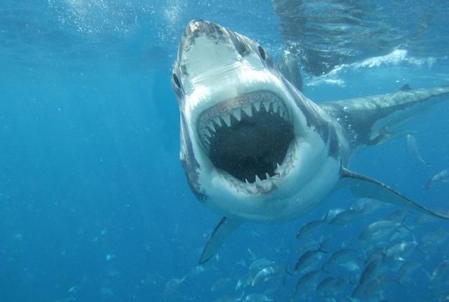 white-shark1 Мужчины становятся жертвами акул чаще женщин